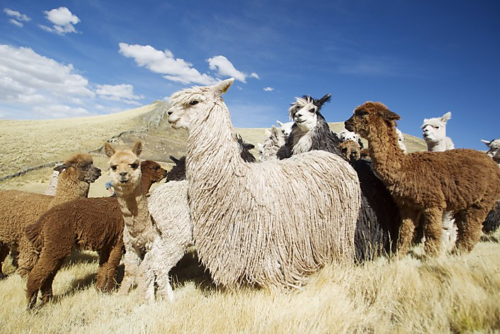 Alpaca Herd in Peru